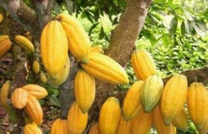 LE CACAO DU PAYS DIDA