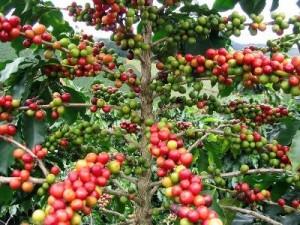 cafe-cerises-arbre