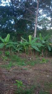 Bananeraie-Kobry-Déblé
