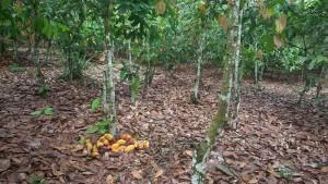 Cacao-Djôh-Hadjoh Gbo Gbo-Kho