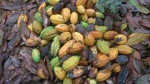Cacao Gbo-Gbo