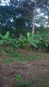 La bananeraie du jardin Kobry