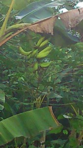 Le Bananier de La Cour-Kobry