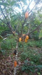 Le Cacaoyer de la Ferme Agricole-Kobry