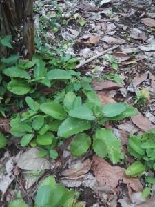 NOS BIENS A NOUS. Qui reconnait cette plante ? Eh bien , on l'appelle NONGOLI BÊTÊH. Elle nous a tous rendu service au village. La grippe, le rhume, la toux. 2 gouttes dans les narines. 6 heures après, et le malaise passe. Qui s'en souvient ? Quelle plante de la bienfaisance médicinale ! Photo Reportage : Gbadjaré Séverin