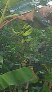 régime de Banane-Déblé