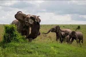 Un-buffle-souleve-dans-les-airs-par-un-elephant-furieux (1)