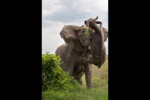 Un-buffle-souleve-dans-les-airs-par-un-elephant-furieux (3)