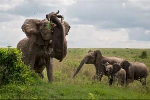 Un-buffle-souleve-dans-les-airs-par-un-elephant-furieux
