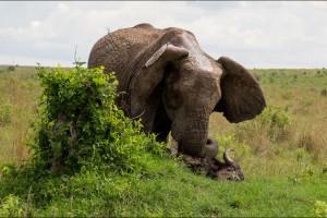 Un-buffle-souleve-dans-les-airs-par-un-elephant-furieux (4)