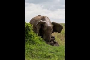 Un-buffle-souleve-dans-les-airs-par-un-elephant-furieux (5)